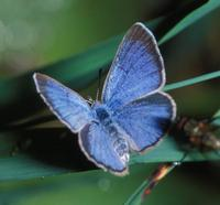 World's Rarest Breed Of Butterfly